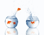 goldfish jumping from one fishbowl to another